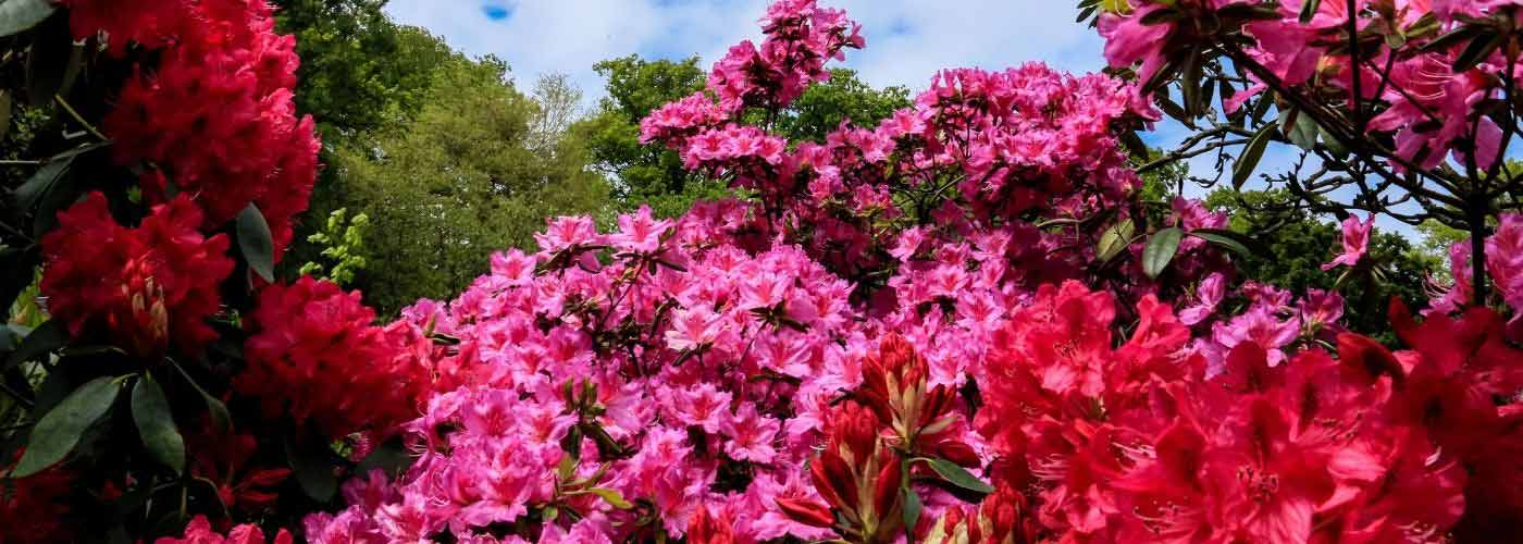 Rhododendrons in Lee Gardens