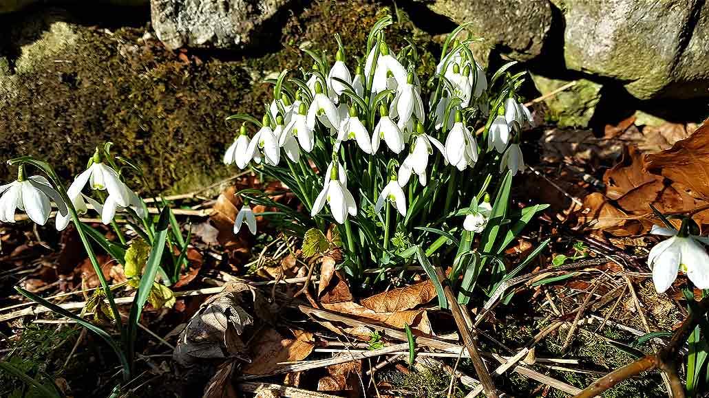 Spring snowdrop in Peak District