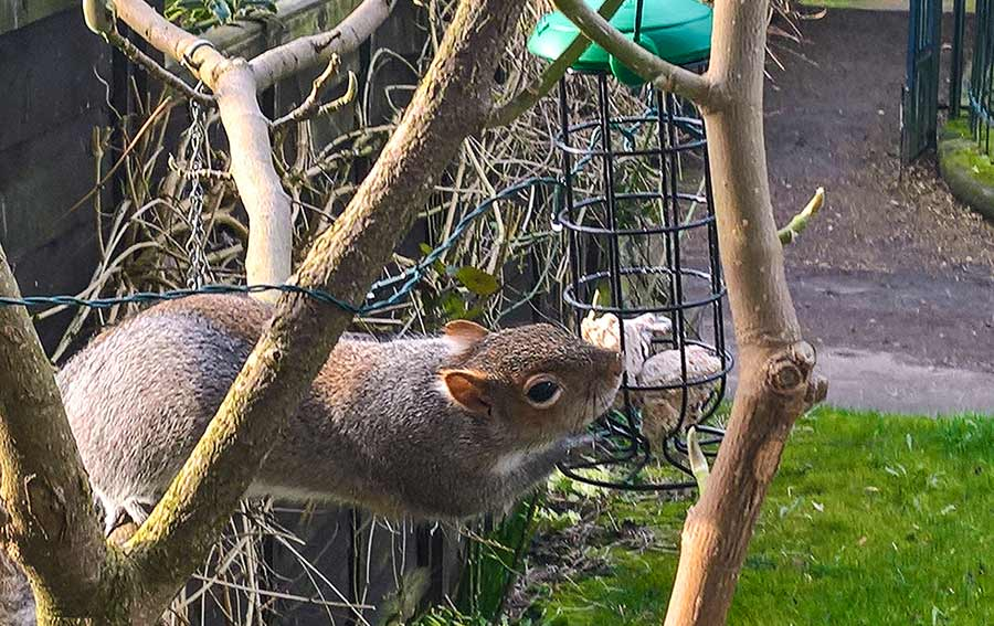 Grey Squirrel at bird table