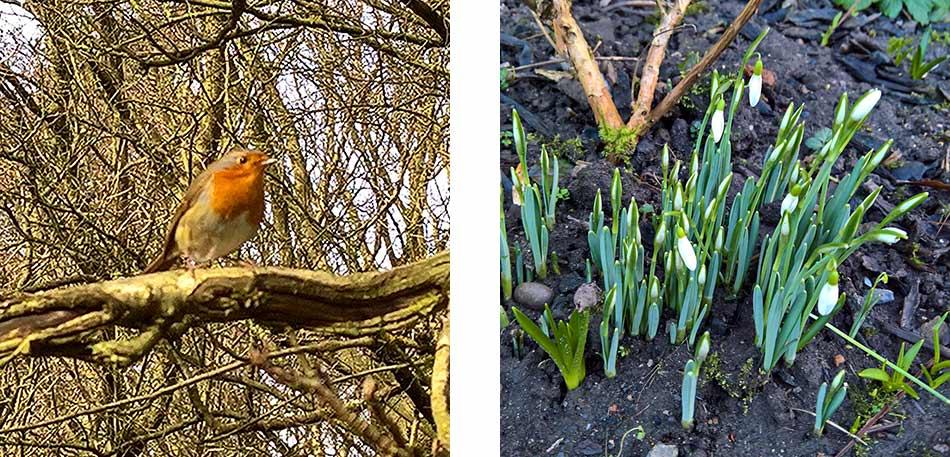 Robin in Spring garden
