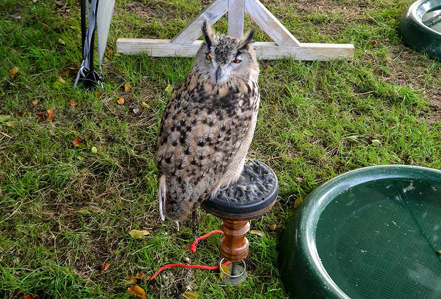 Owl at the Chatsworth County Show