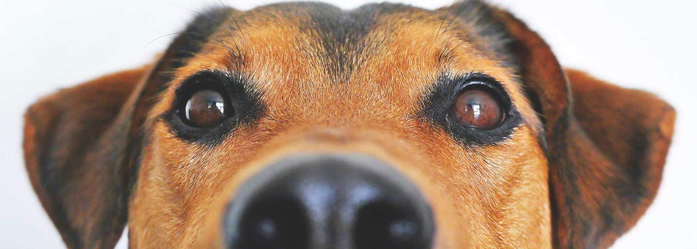Close up of brown dog's face
