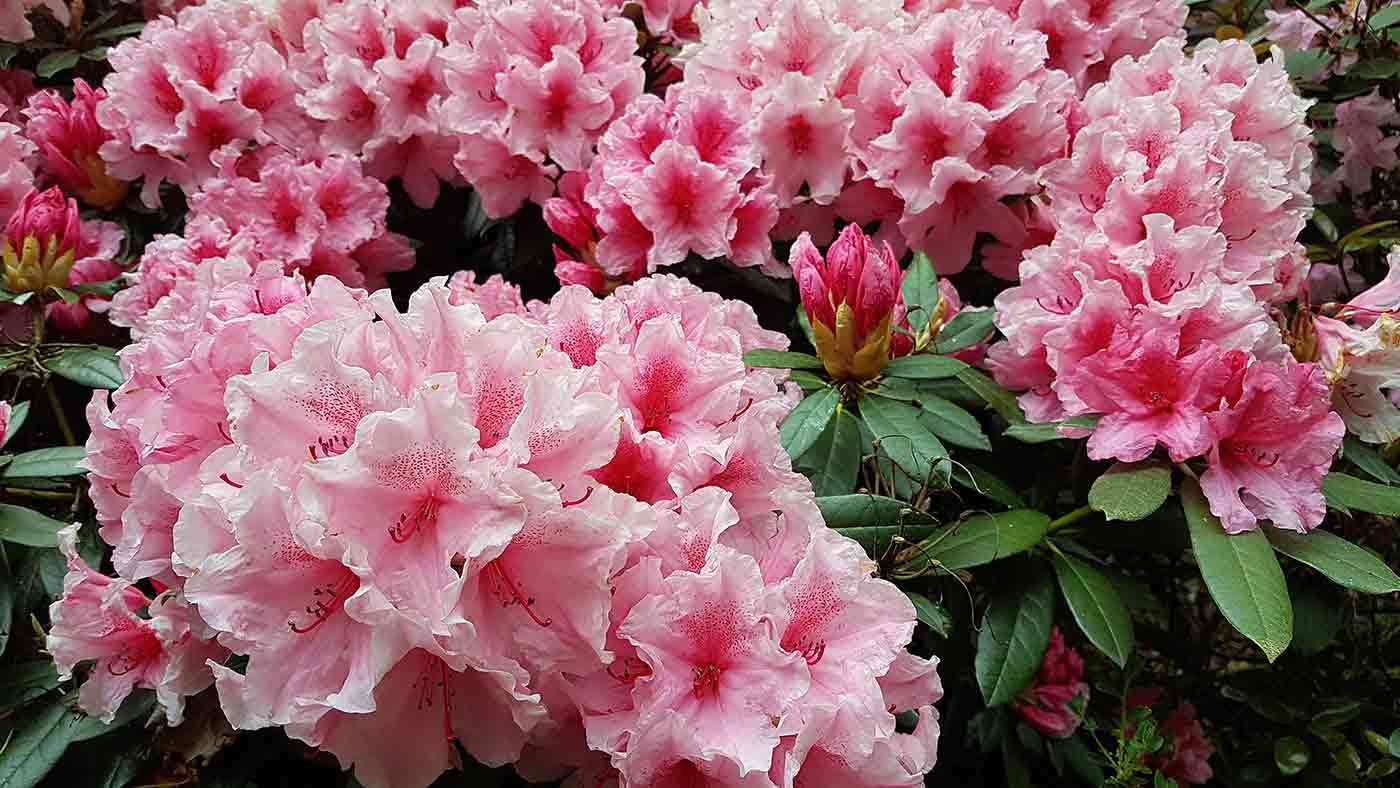 Pink rhodoendrons at Lee Gardens